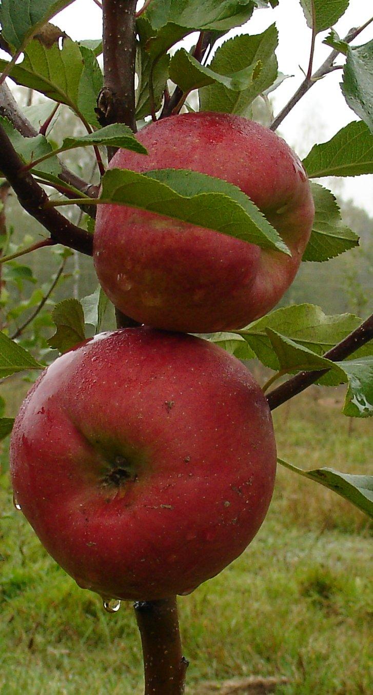 смерти киры яблоня делишес спур описание фото стиле классицизм подходит